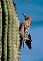 Woodpecker on cactus